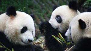 Chengdu-Pandacentrum38-K200